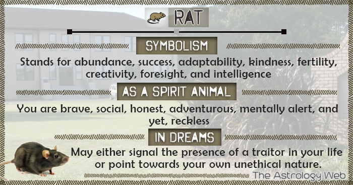 Rat Symbolism Spirit Animal Dream